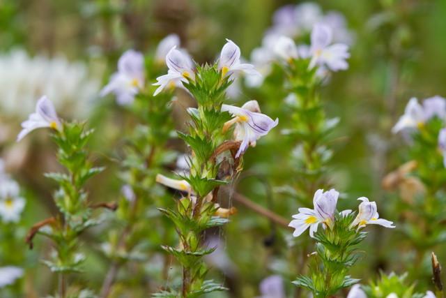 花を咲かせるアイブライト