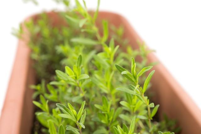 鉢に植えられているヒソップ