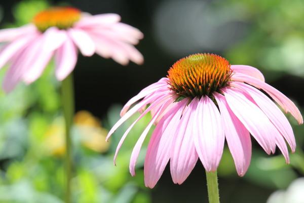 野生のエキナセアの花