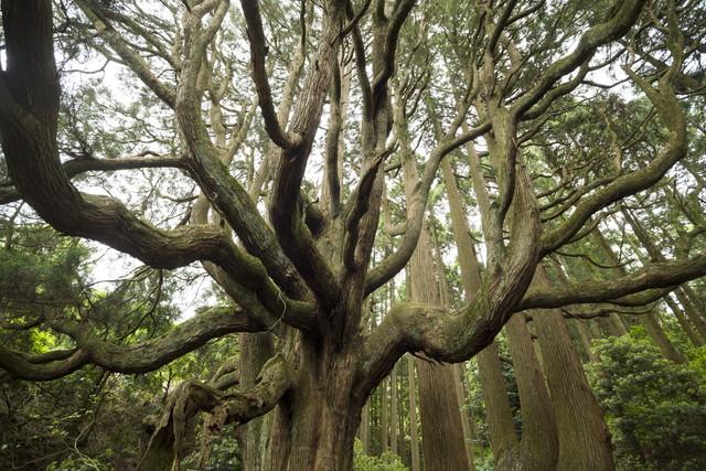 高森殿の杉の木(雄杉)