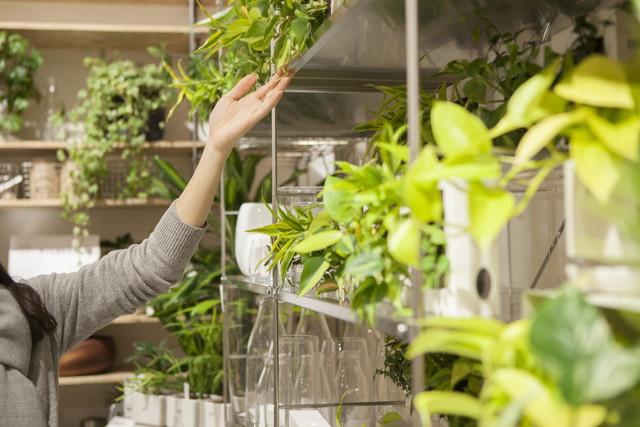 観葉植物の手入れをする女性
