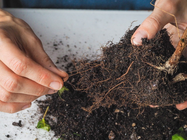 観葉植物の根っこ
