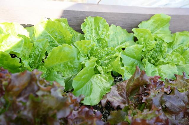 家庭菜園で育てたレタス