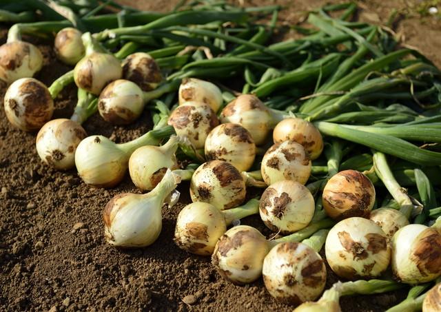 収穫中の玉ねぎ