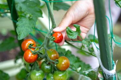 家庭菜園ミニトマトの収穫