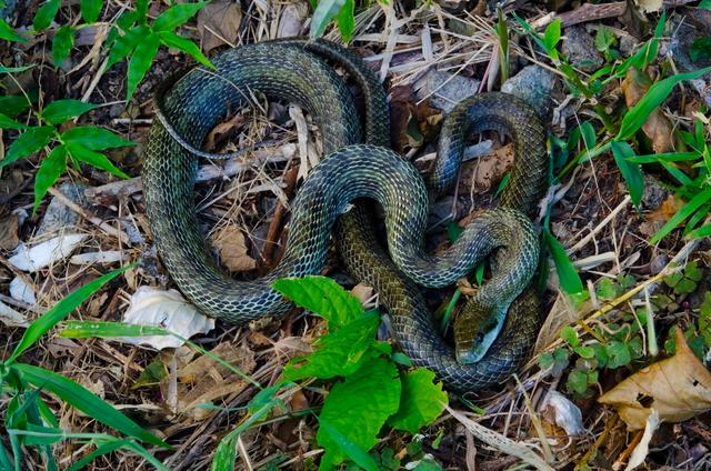 蛇、アオダイショウ