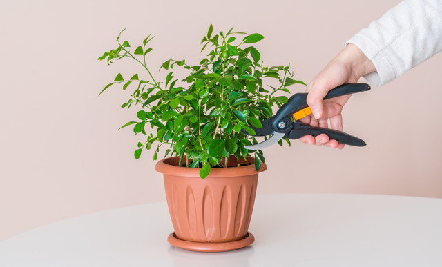観葉植物を切る様子