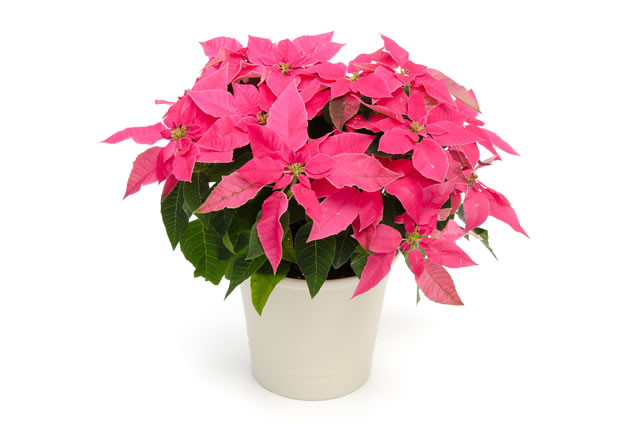 ピンクの植物