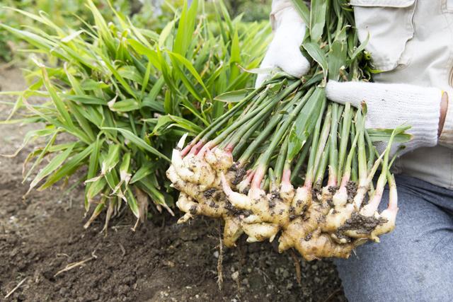 生姜 収穫
