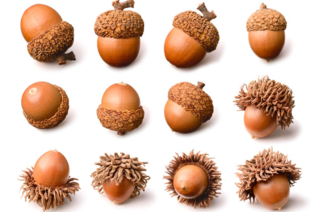 dried acorns isolated on the white background