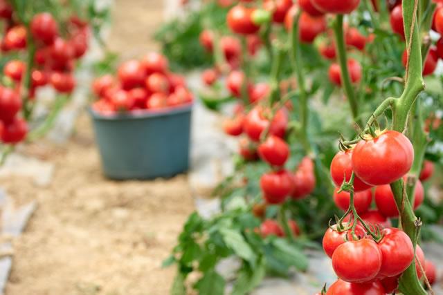 畑になっているトマト