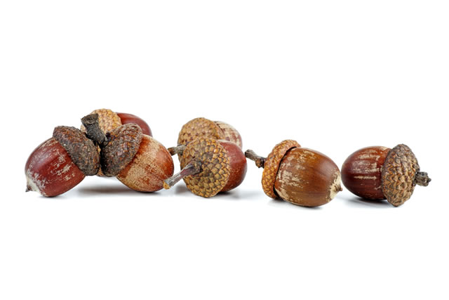 Dried acorns