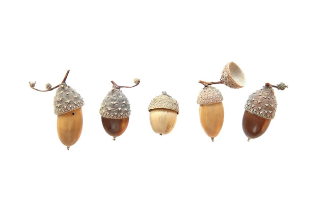 Set of acorns isolated on white background. Collection of different cute acorns with amazing hats