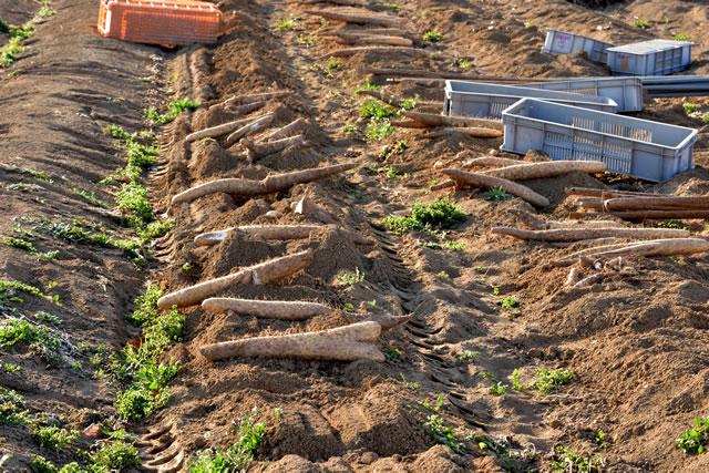 長芋の収獲をしている畑