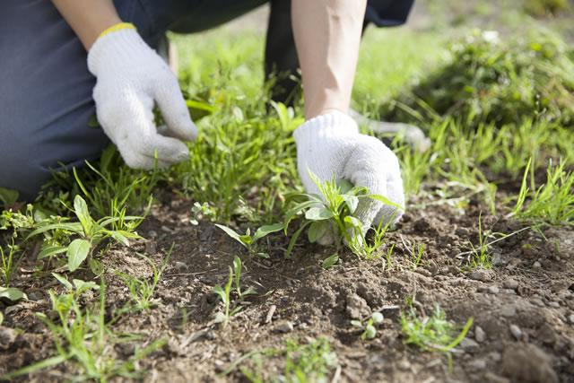 雑草をむしる人