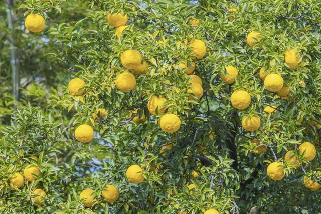 たわわに実る柚子園のユズ