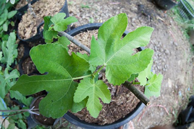 いちじくの鉢植え
