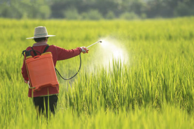 A women farmer spraying pesticide on rice green field