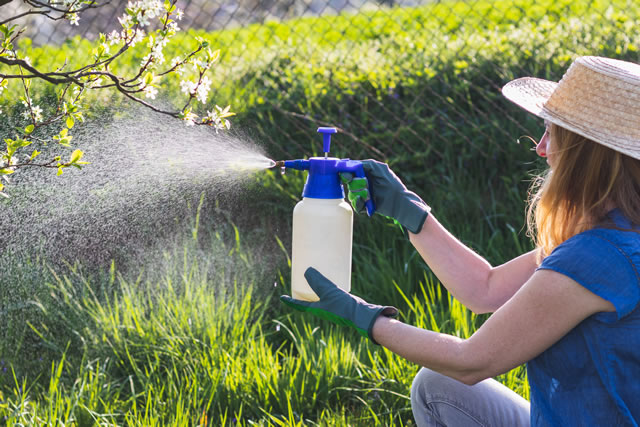 Woman with gloves spraying a blooming fruit tree against plant diseases and pests
