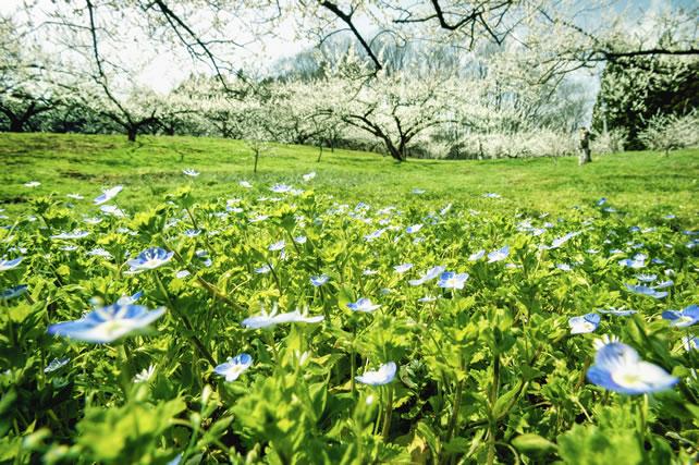 畑に咲くオオイヌノフグリ