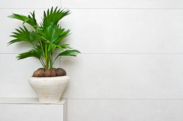 Fan plant in a pot home decoration bathroom detail