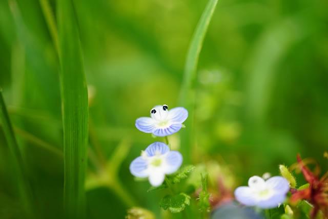 大きく花を開くオオイヌノフグリ
