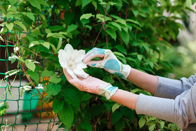 クレマチスを摘む手