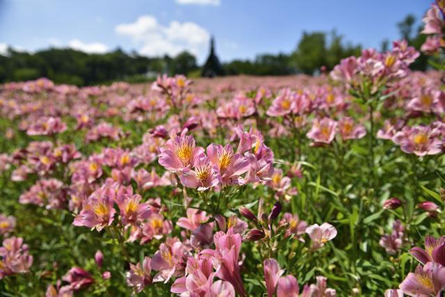 アルストロメリアの花畑