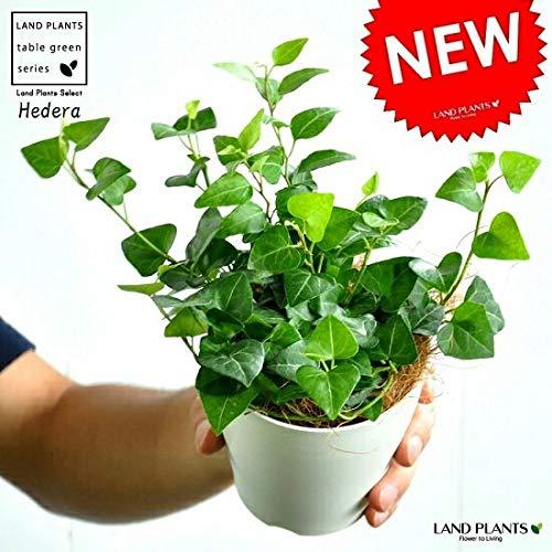 LAND PLANTS ハートアイビー(サーク) 白色プラスチック鉢セット 4号サイズ