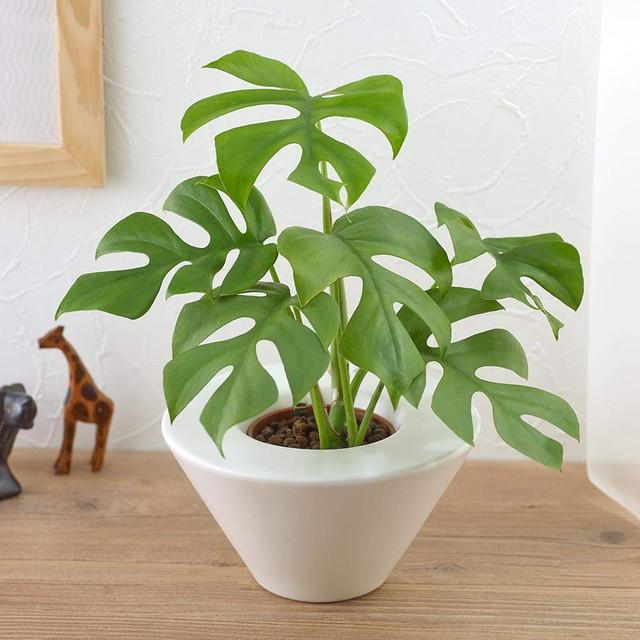お手入れかんたん観葉植物ヒメモンステラホワイト