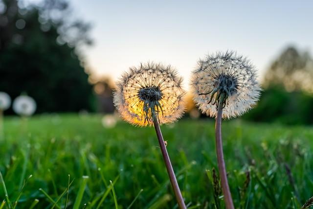 草の上の2つのふわふわタンポポ