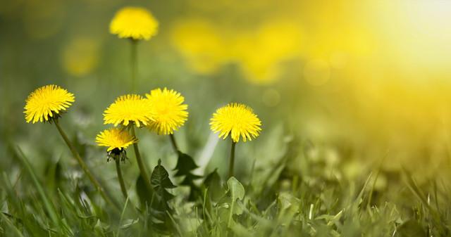 黄色のブローボールタンポポの花