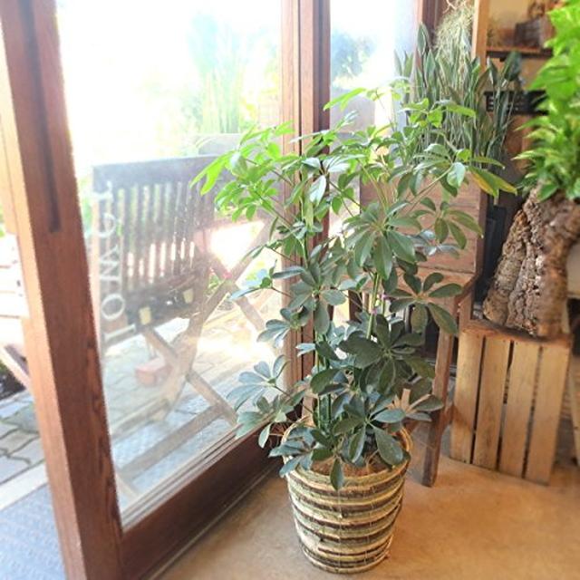 シェフレラ ホンコンカポック 7号鉢サイズ 鉢植え