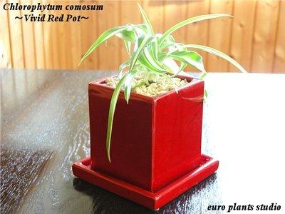 オリヅルラン・ボニー ヴィヴィッド レッドポット Chlorophytum Comosum Bonnie vivid Red pot インテリア観葉植物 鉢植え