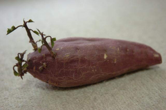 傷んで芽が生えてしまったサツマイモ