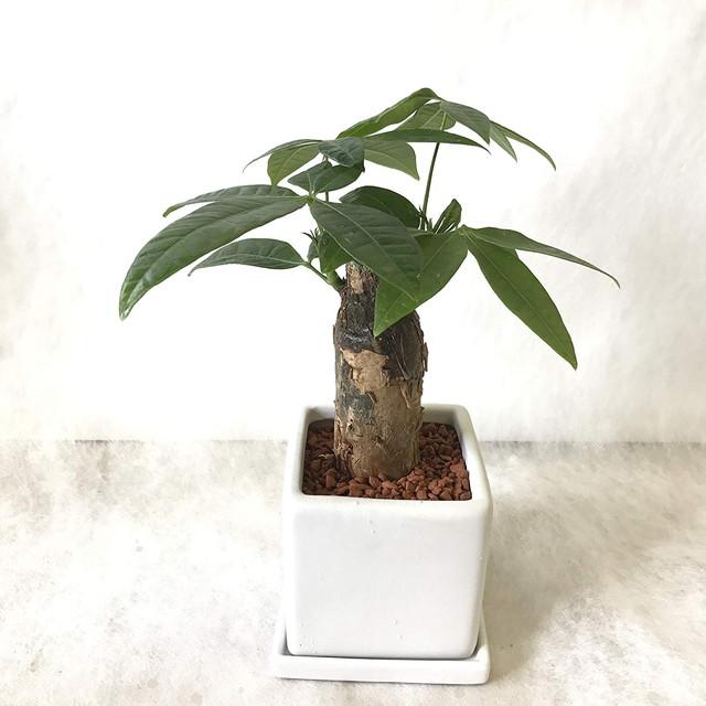 【SHOPマルハナ】パキラ 4号 陶器鉢 セラミス植
