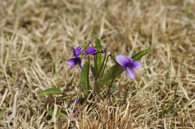 雑草の中に咲く菫
