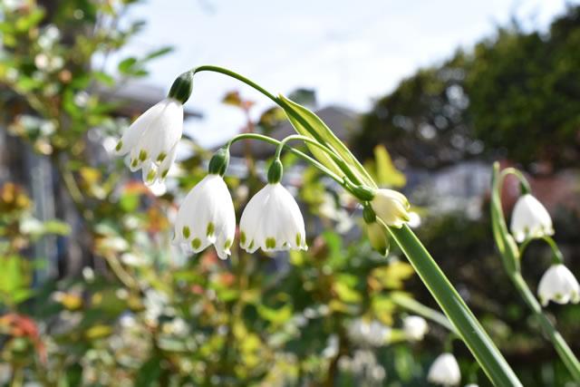 庭に咲くスノーフレーク