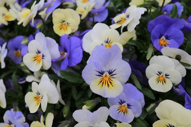 いろいろな色の菫