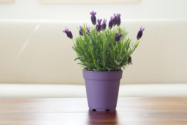 鉢に植えられたイングリッシュラベンター