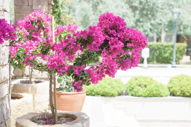鉢植えのビリア