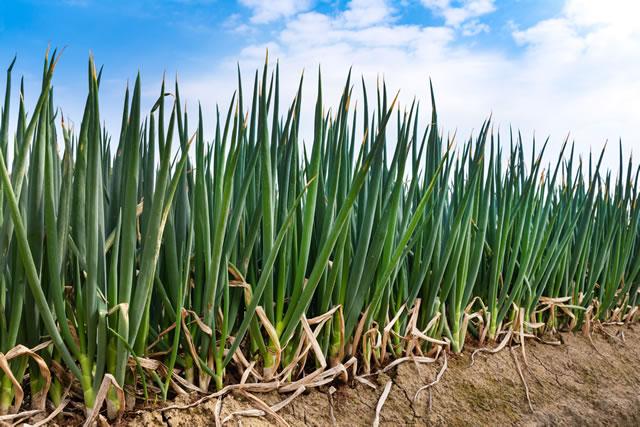 ねぎ,畑,農業