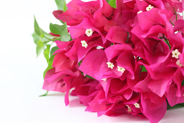 ビリアの花束