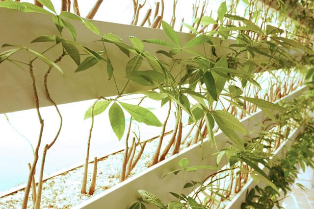 葉植物、パキラ、展示