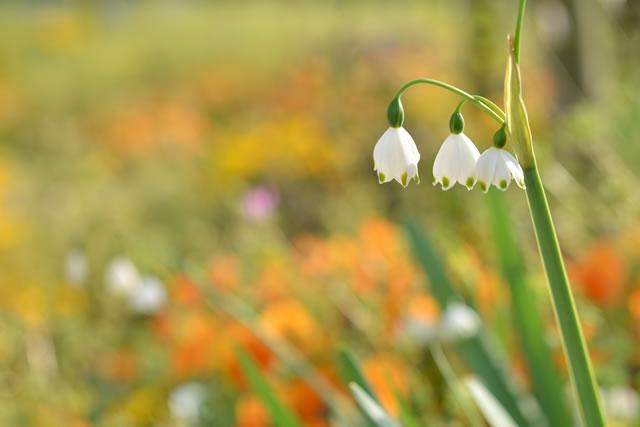 野原に咲くスノーフレーク