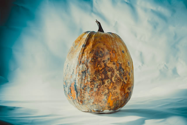 Dry and rotten and dried pumpkin on a blue-white background, spoiled vegetable. Dangerous food.