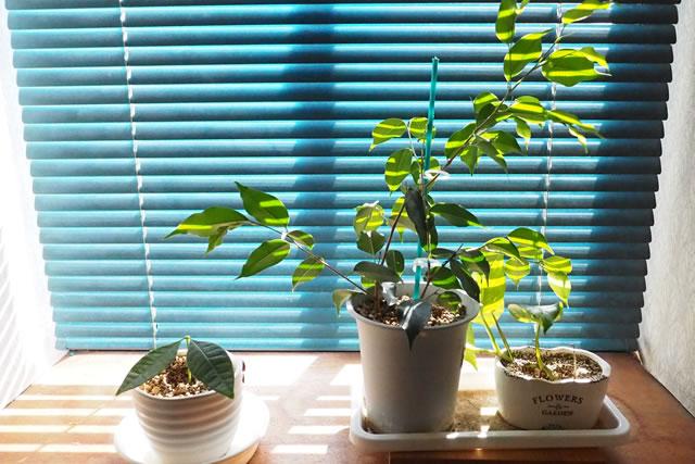 パキラ、ベンジャミン、ポトス窓際の観葉植物