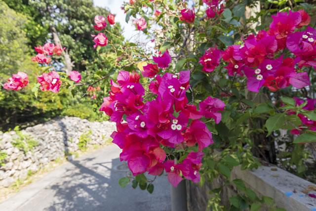 庭に咲いているビリア
