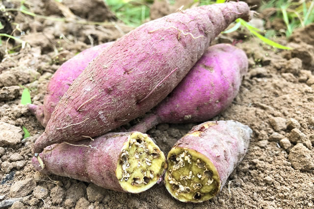 harvested sweet potatoes rot in farmland
