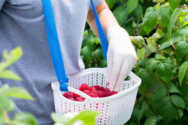 ラズベリーを収穫する農家